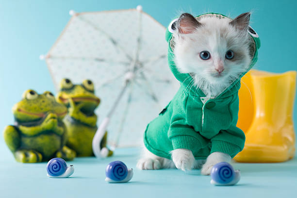 Rag Doll Kitten and Rainy Season:スマホ壁紙(壁紙.com)