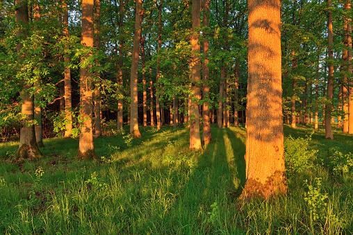 Dramatic Landscape「Sunrise sun in forest on old oak trees. Bavaria, Germany.」:スマホ壁紙(0)