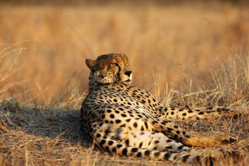 African Cheetah「Cheetah Relaxing In Evening Sun」:スマホ壁紙(2)