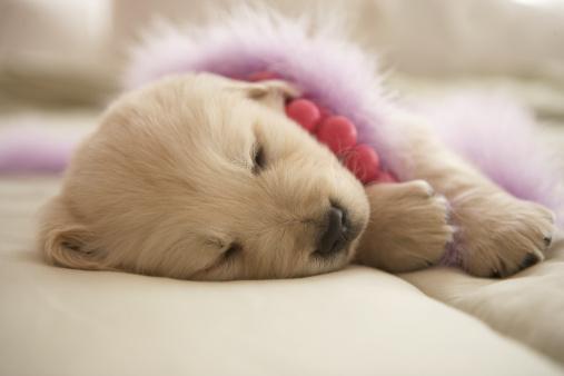 ふわふわ「Dog sleeping on bed」:スマホ壁紙(0)