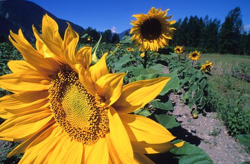 Pemberton「Sunflower Blooms In Field, Pemberton, Bc」:スマホ壁紙(14)