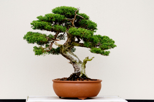 Juniper Tree「Small green bonsai tree in a brown plant pot」:スマホ壁紙(5)