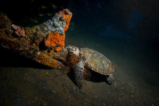 Green Turtle「Small green turtle resting inside the Liberty Wreck, Bali, Indonesia.」:スマホ壁紙(2)
