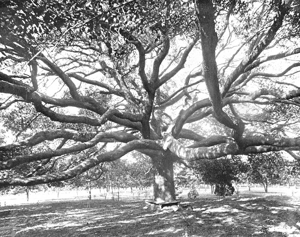 Deciduous tree「Mammoth Live Oak」:写真・画像(8)[壁紙.com]
