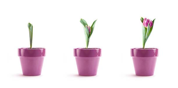チューリップ成長率:スマホ壁紙(壁紙.com)