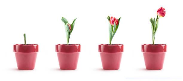 Tulip Growth:スマホ壁紙(壁紙.com)