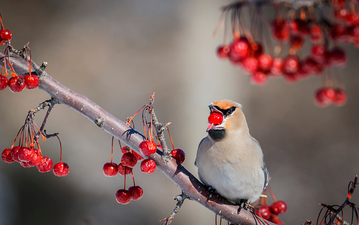 Bohemian Waxwing「Boreal waxwing (Bombycilla) juggling with berries」:スマホ壁紙(9)