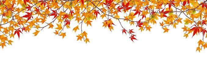 かえでの葉「パノラマに広がる Autumn Maple 枝」:スマホ壁紙(7)