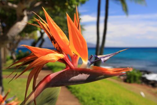 Eco Tourism「Maui Hawaii resort hotel Bird of paradise flower」:スマホ壁紙(15)