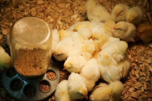Feeding「Bunches of chicks」:スマホ壁紙(13)