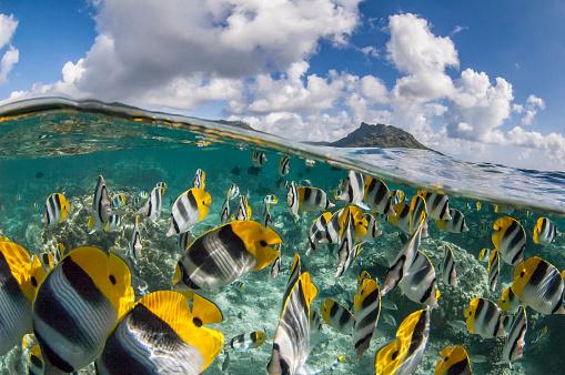 熱帯魚「太平洋ダブル セグロチョウチョウウオ (チョウチョウウオ ulietensis)」:スマホ壁紙(11)