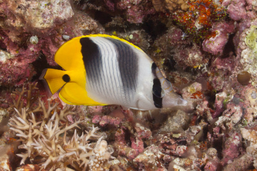 Butterflyfish「Pacific Double-saddle Butterflyfish」:スマホ壁紙(15)