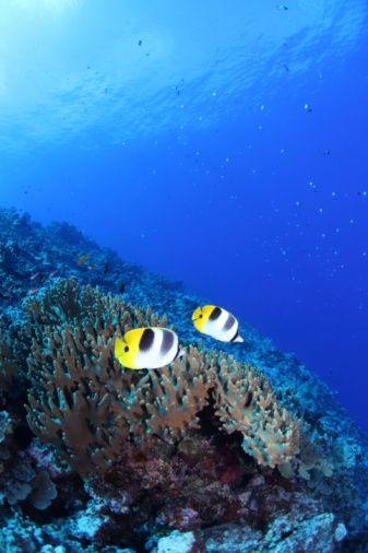 Northern Mariana Islands「Pacific double-saddle butterflyfish swimming in the sea in Saipan」:スマホ壁紙(2)