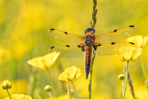 とんぼ「Four-Spotted Chaser ( Libellula quadrimaculata )」:スマホ壁紙(17)