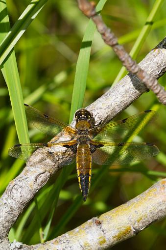 とんぼ「Four-spotted Skimmer Dragonfly (Libellula quadrimaculata) rests on in the brush during windy conditions, summertime in South-central Alaska」:スマホ壁紙(18)