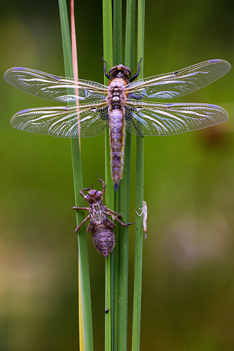 The Nature Conservancy「Four-spotted Chaser (Libellula quadrimaculata) adult, newly emerged resting beside exuvia on reed leaf」:スマホ壁紙(11)
