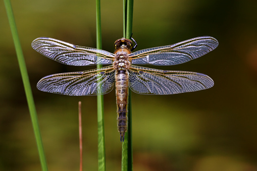 The Nature Conservancy「Four-spotted Chaser (Libellula quadrimaculata) adult, resting on reed leaf」:スマホ壁紙(9)