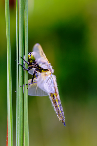 The Nature Conservancy「Four-spotted Chaser (Libellula quadrimaculata) adult, resting on reed leaf」:スマホ壁紙(16)