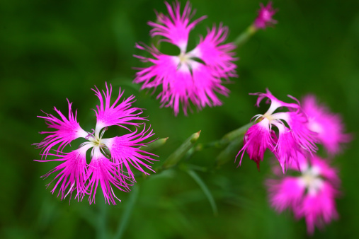 カーネーション「Japanese Carnation (Dianthus superbus var. longicalycinus)」:スマホ壁紙(12)