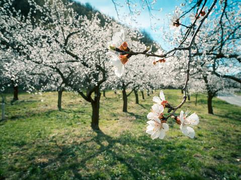 Apricot Tree「Austria, Wachau, Apricot blossoms」:スマホ壁紙(8)