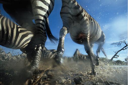 Hoof「Burchell's zebra (Equus burchelli) running, low angle view」:スマホ壁紙(16)