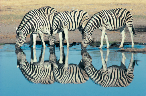 Safari Animals「Burchells Zebra (Equus burchelli) drinking at waterhole, Etosha, Namibia」:スマホ壁紙(16)