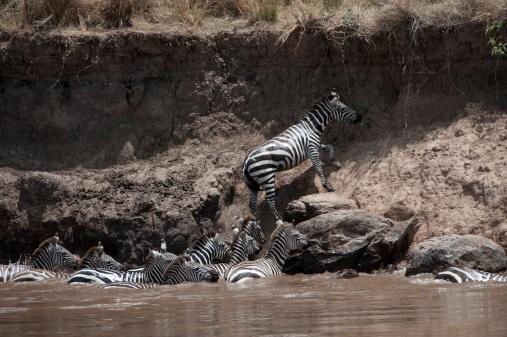 Struggle「Burchell's zebra (equus birchelli) clambering up riverbank , misaim Mara, Kenya, Africa」:スマホ壁紙(2)