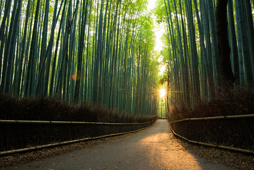 Kyoto City「Pristine bamboo forest at sunrise」:スマホ壁紙(1)