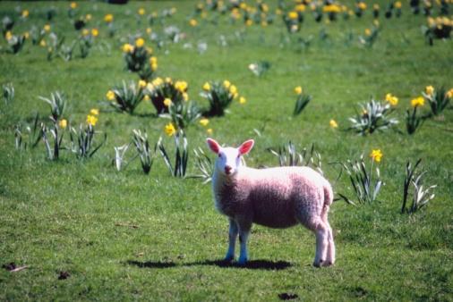 水仙「Lamb grazing by daffodils」:スマホ壁紙(10)