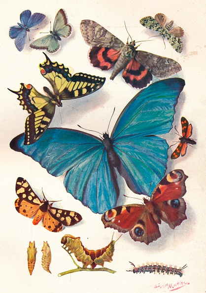 Butterfly - Insect「'Example of Colour Block Illustration for Scientific Work', c1903」:写真・画像(5)[壁紙.com]