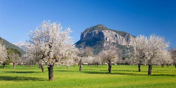 Grove「Almond trees in bloom, Alaro, Mallorca」:スマホ壁紙(17)