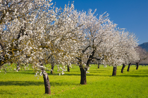 Grove「Almond trees in bloom, Alaro, Mallorca」:スマホ壁紙(2)