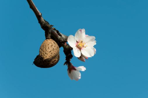 アーモンド「Almond tree」:スマホ壁紙(19)