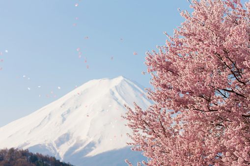 Cherry Blossom「Petals of cherry blossom flying in the air, with Mount Fuji in the background」:スマホ壁紙(7)