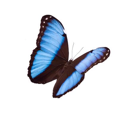 Morpho Butterfly「Butterfly」:スマホ壁紙(17)