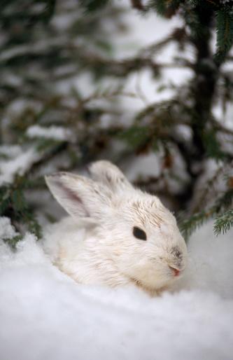 イースター「Snowshoe hare, MT」:スマホ壁紙(13)