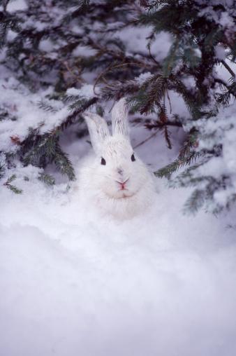 Rabbit - Animal「Snowshoe hare, MT」:スマホ壁紙(19)
