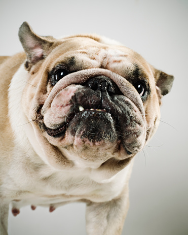 Ugliness「Bulldog」:スマホ壁紙(14)