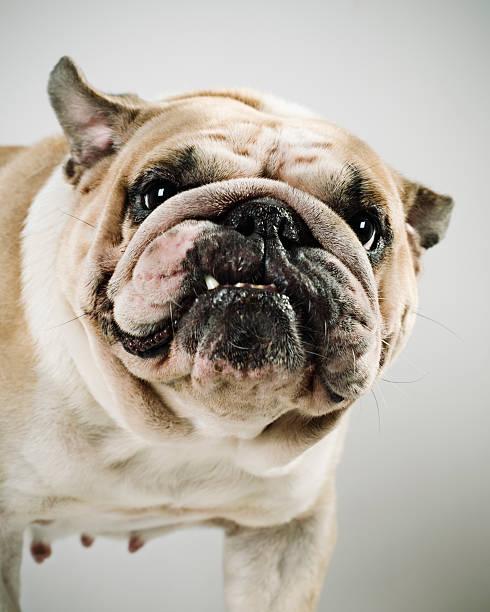 Bulldog:スマホ壁紙(壁紙.com)