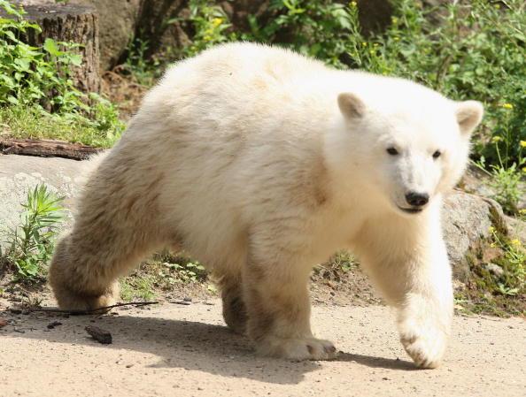 "Animals In Captivity「Berlin Zoo Keepers Continue To Rear Polar Bear Cub ""Knut""」:写真・画像(12)[壁紙.com]"
