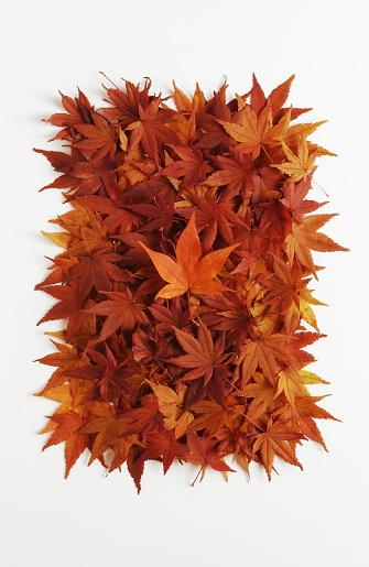 Japanese Maple「Autumn Foliage」:スマホ壁紙(2)