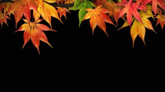 紅葉「紅葉がすっかりにブラック」:スマホ壁紙(14)