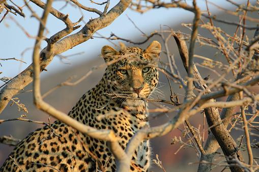 Namibia「Leopard on a tree」:スマホ壁紙(18)