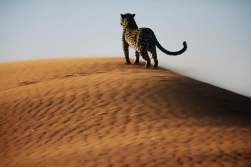 Endangered Species「Leopard (Panthera pardus) on sand dune」:スマホ壁紙(1)