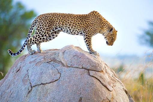 Pouncing「Leopard on a rock.」:スマホ壁紙(6)