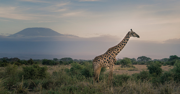 Giraffe「Giraffe under Mount Kilimanjaro.」:スマホ壁紙(8)