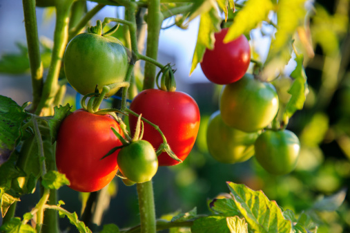 Harvesting「Tomatos on Branch」:スマホ壁紙(6)