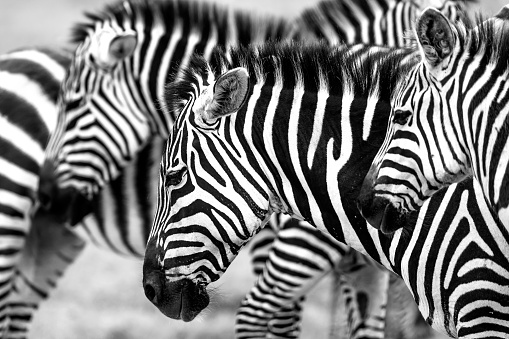 Animals In The Wild「Zebras heads」:スマホ壁紙(15)