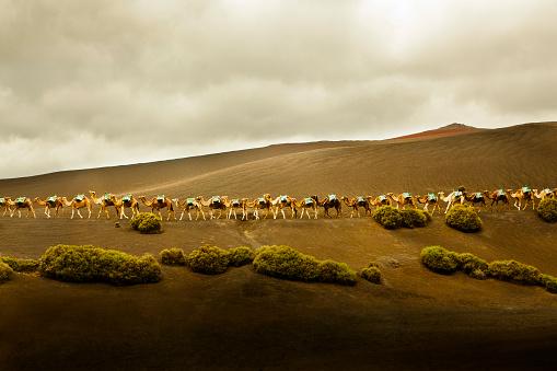 Atlantic Islands「Long row of camels in Lanzarote, Spain.」:スマホ壁紙(14)