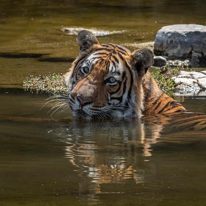 Rajasthan「Tiger having a bath, Ranthambore National Park, India」:スマホ壁紙(8)